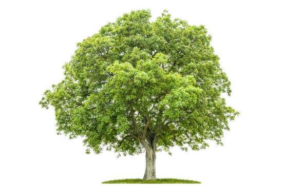 baumnussbaum